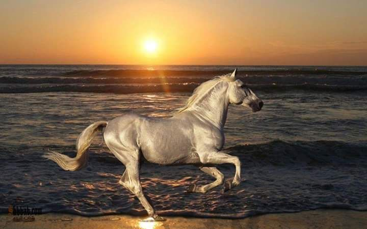 صوره حصان عربي جميل Beautiful Horses Horses Horse Pictures