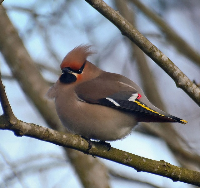 BIRDIE I WANT TO SQUEEZE YOU!!!!!!!: Bird Things, Flocking Notion, Avian Obsession, Fat Lil, Photo, Cider Waxwing