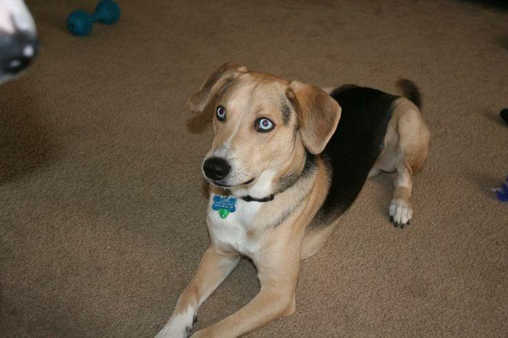 beagle shepherd mix | mix poochie and uncle smokey is a beagle-shepherd-retriever-husky mix