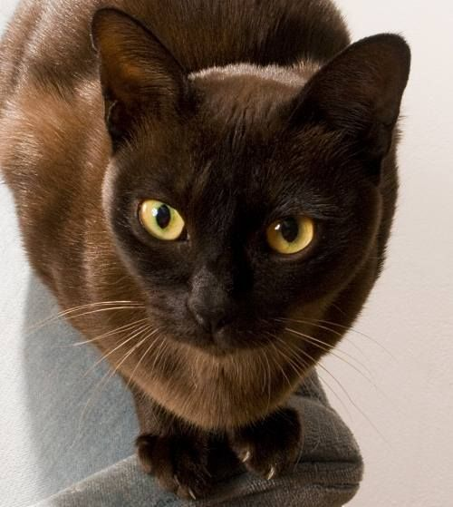 Burmese - The Burmese is an affectionate and even-tempered cat with a sleek, glossy coat. Although the original color is a solid sable brown, other colors include blue, champagne, and platinum.