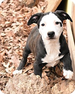 Glastonbury, CT - Boxer/Border Collie Mix. Meet Stella Pup ~meet me!, a puppy for adoption. http://www.adoptapet.com/pet/17290301-glastonbury-connecticut-boxer-mix