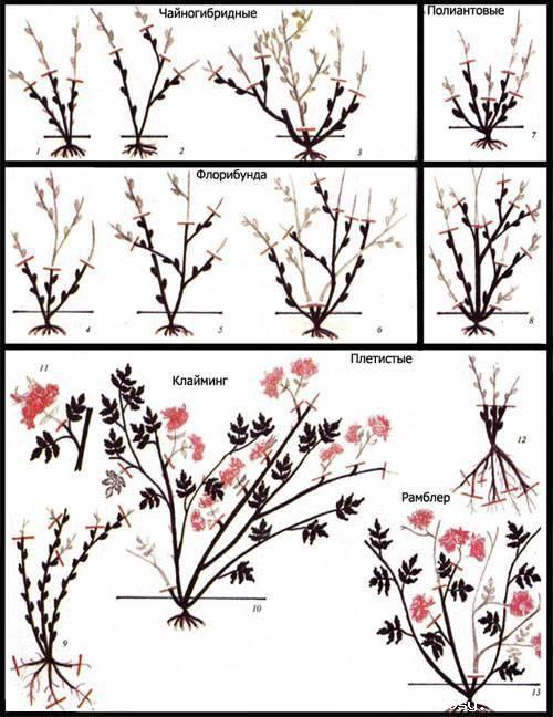 Розы | Записи в рубрике Розы | Дневник p0629 | сад уход за растениями | Постила