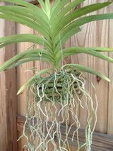 This vanda is potted in a slatted basket with no potting media. The hanging roots are completely exposed. Vanda are considered advanced orchids.