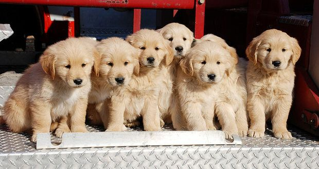 Where Is The Best Place To Get A Golden Retriever?