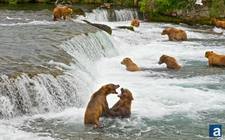 Greedy grizzlies: Bears fight over bumper salmon feast in Alaskan national park