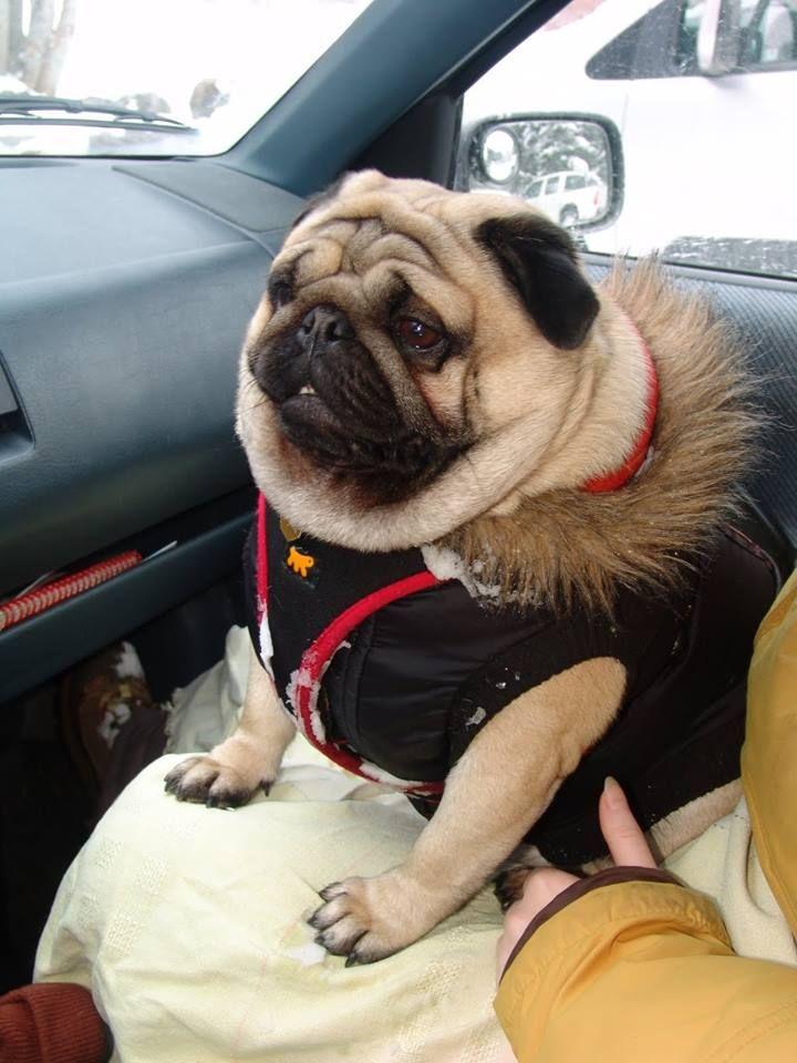 Cute Dogs Rolls Fat