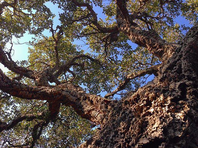 400 years old cork oak - WWF Riserva Naturale Lago di Burano #12feb2017 #lagodiburano #toscany #birdwatching #nature #naturelovers #naturephotography #natureza #naturezaperfeita #natgeotravel #travel #traveling #traveler #travelgram #traveller #travelling #bestoftheday #instagram #instagrammers #iphonephotography #iphoneonly #tree #oak #cork #treelovers #treestagram