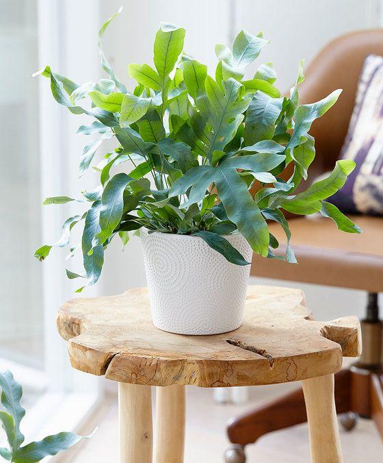 Een mooie varen voor een schaduwrijk hoekje in uw hal, slaapkamer of badkamer! Deze sterke varen met zeer in het oogspringende, blauwgrijze bladeren is gemakkelijk te houden. Door het warrige uiterlijk zorgt de eikvaren voor wat frivoliteit in uw huis! Eikvarens brengen ook schone lucht! In uw huis worden significante hoeveelheden schadelijke gasdeeltjes (zie onder Bijzonderheden) ingevangen door de bladeren van deze plant en deze geven er zuurstof voor terug! Het klimaat in huis wordt voor…