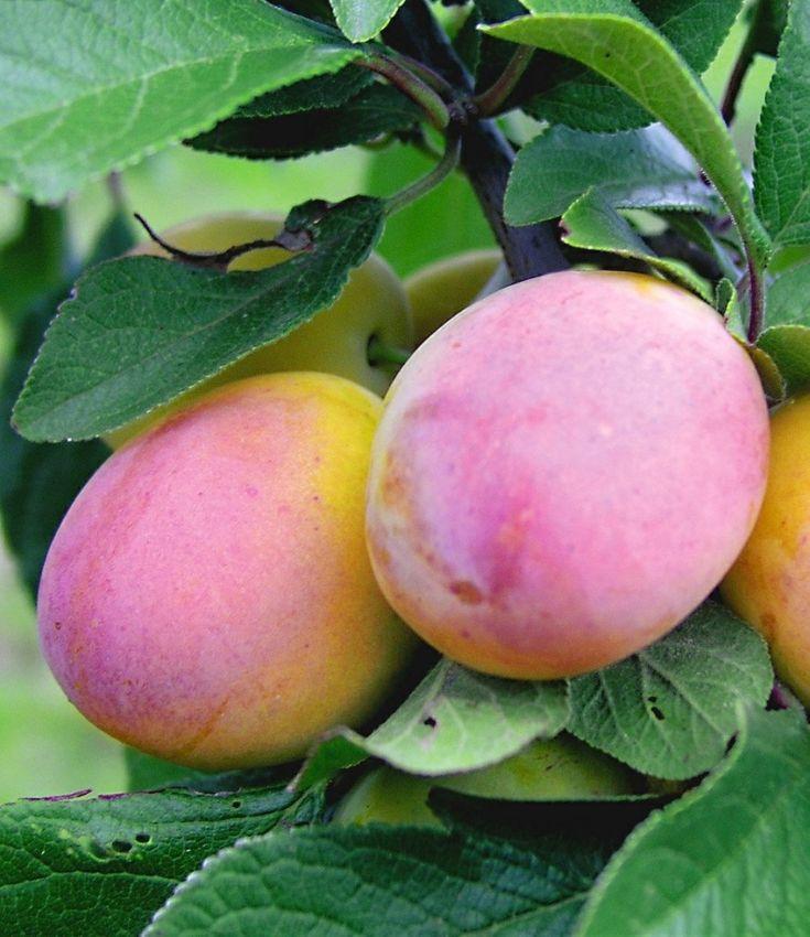 Сливы абрикос «Aprikola
