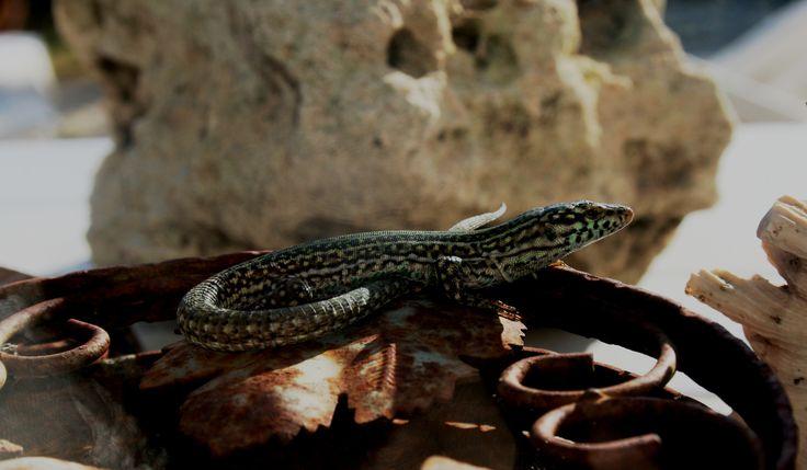 das Wahrzeichen von Formentera: la lagartija