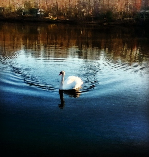 Swan out on the lake