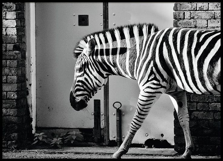 Downtown Zebra, poster in der Gruppe Poster / Schwarz-Weiß bei Desenio AB (8406)