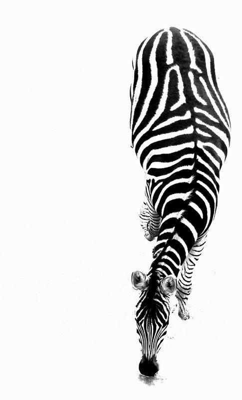 Black and white zebra - animal print; monochrome patterns in nature