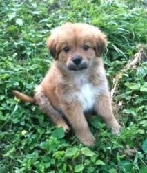 Arthur is an adoptable Chow Chow Dog in Newburgh, IN. 4/2/12 - Meet Arthur, a super cute 2 month old neutered male Chow/Lab mix. Arthur is the best puppy! He is very smart, calm, extremely friendly and happy go lucky.