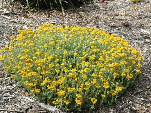 Chrysocephalum Apiculatum 'Paper Daisy'...20cmh x 20cm w