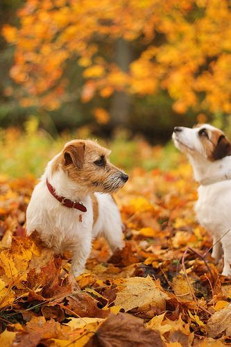 """Jacks Russell Terriers  in autumn. Photo: """"Poca & Sessi"""" by Marita'sphotos on Flickr."""