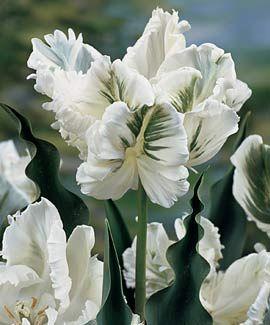 Tulip, Super Parrot   white flower, gardening, landscaping