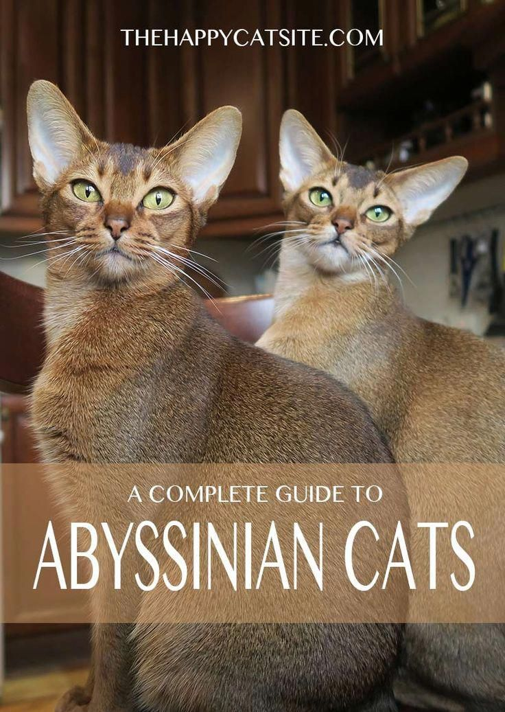 Abyssinian Cat Health