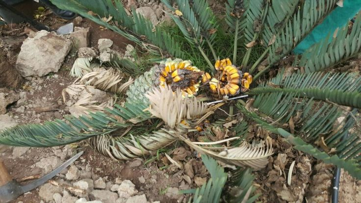 E. Hirsitus cone