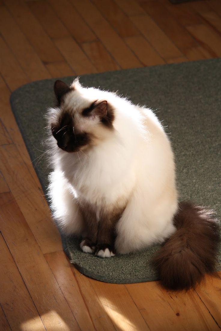 35 best Birman Cat images on Pinterest | Birman cat, Kitty cats ...