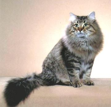 Siberian cat -- I'm convinced this is Gus' breed.
