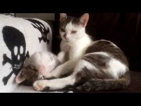 OMG! This Super Cute Kitten Copying Her Mama is Adorable!