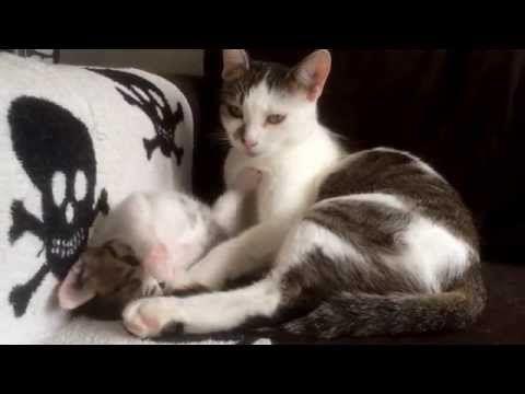 Az anya macska elkezd tisztálkodni