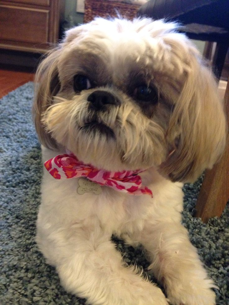 angelbaby shih tzu breakfast please looking like angels bubby lou miss 6623