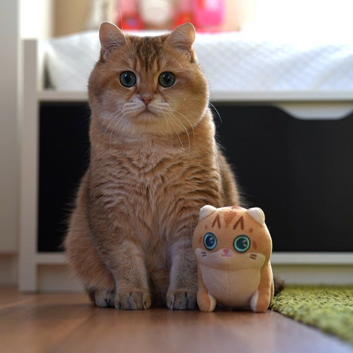 Hosico Cat Plush Now Comes In Mini Size If You Re Going Outside Be Sure To Take Him With You Link In Cat Plush Cats And Kittens British Shorthair Cats