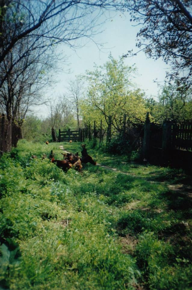 Cu găinile la plimbare