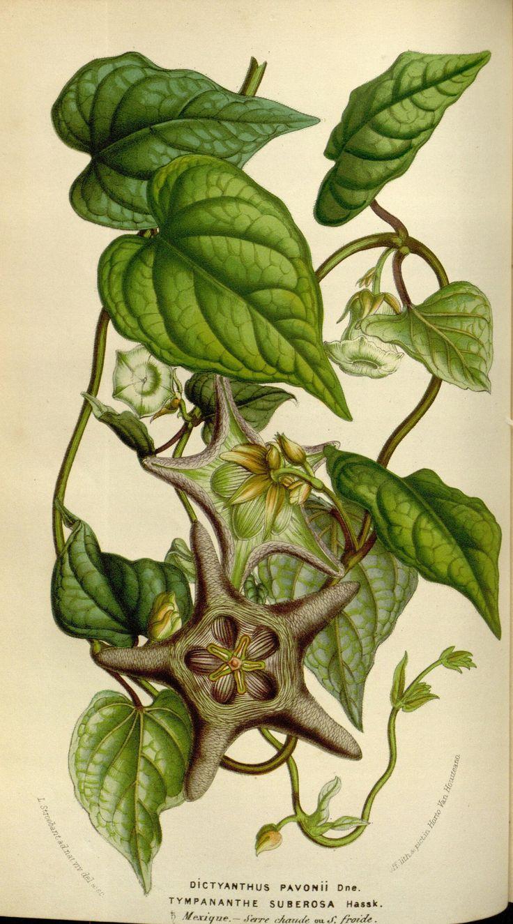https://flic.kr/p/e6zUzs | n80_w1150 | Flore des serres et des jardins de l'Europe. A Gand :chez Louis van Houtte, eÌditeur,1845-1880.. biodiversitylibrary.org/page/27561524