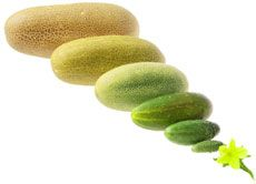 Know when to pick cucumbers from your garden at the right time.
