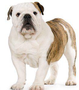 English Bulldog Dog Breed Training tips