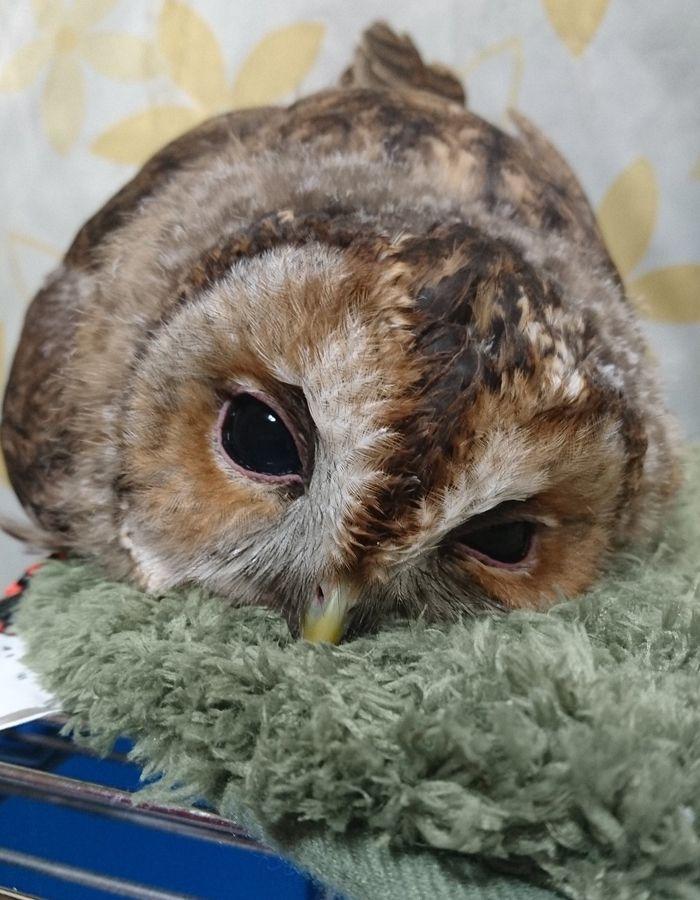 Sleeping Baby Owls Face Down In 2020 Owl Baby Owls Pet Birds