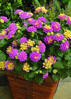 Lantana Bandana Pink All Lantana Plants Are Butterfly And Bee