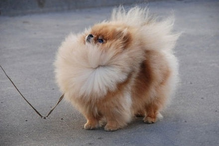 how to make pomeranian hair fluffy