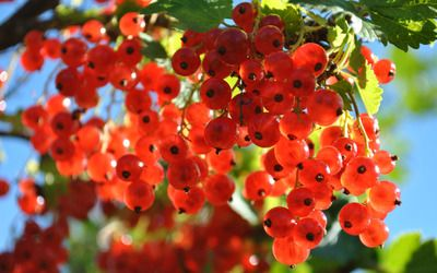 Red gooseberries wallpaper