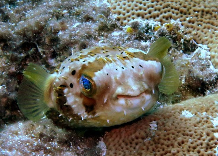 17 best images about pez globo on pinterest your shot for Coleman s fish