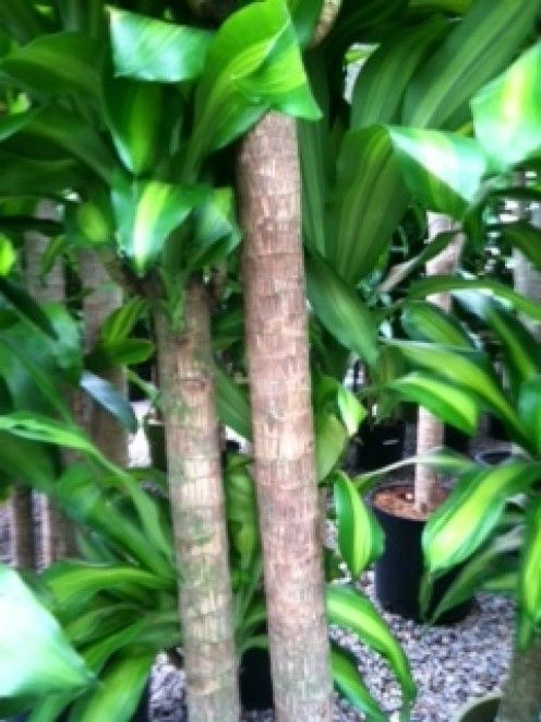 Mass Cane (Draceana Massaengea) has the characteristic thick brown woody Cane.