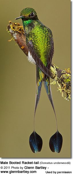 The Booted Racket-tail (Ocreatus underwoodii) - also known as Racket-tailed Puffleg - is a South American hummingbird.