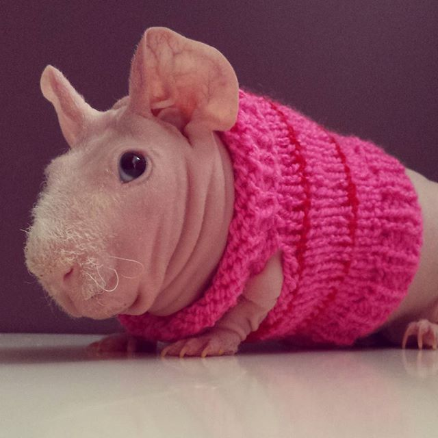 Best Skinny Images On Pinterest Guinea Pigs Skinny Pig And Cavy - Ludwig the bald guinea pig is winning the internets hearts