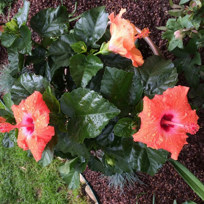 How to Grow Hibiscus Outdoors: 12 Steps (with Pictures)