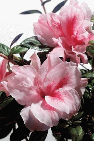 encore azaleas different colors | Encore Azalea Colors
