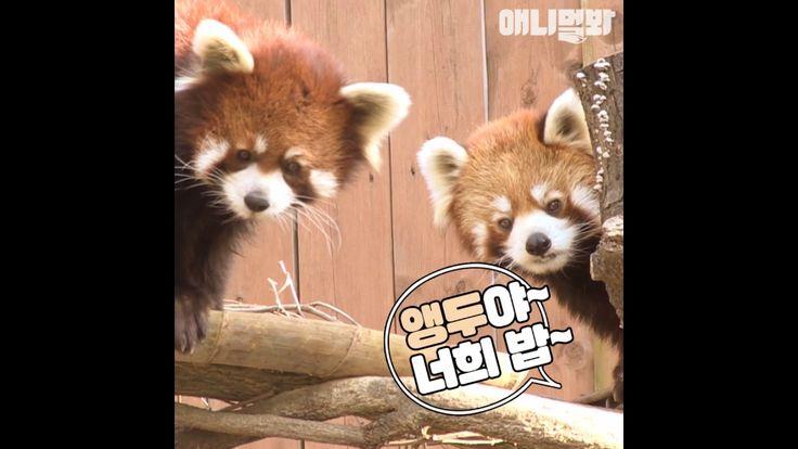 """졸귀 엉덩이 흔드는 브런치 매니아 """"레서판다"""""""