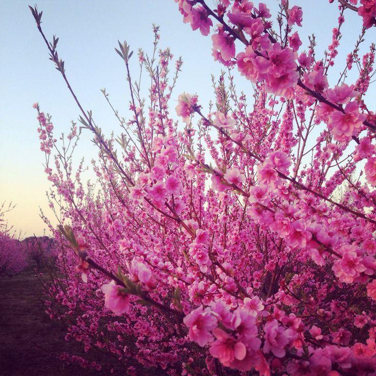2016.3.22 桃  #JAPAN