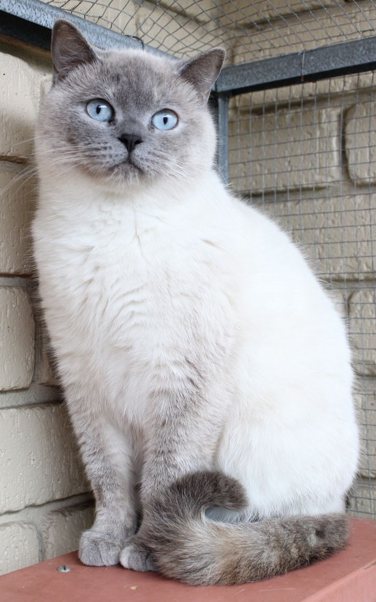 Blue Colourpoint British Siamese Cats Beautiful Cats