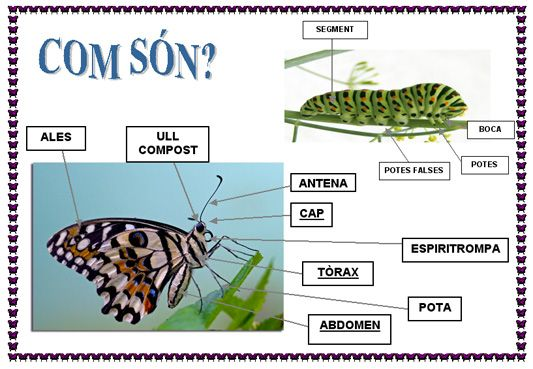 Cicle vital de les papallones