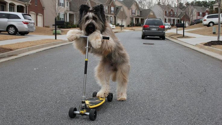 Scooter Dog: Norman The Dog To Be Guinness World Record Breaker