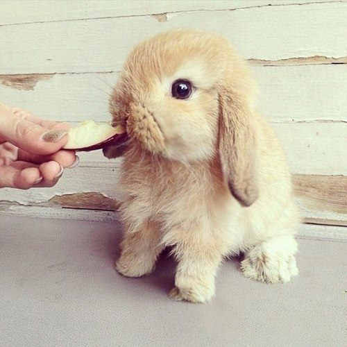 cute bunny eating apple