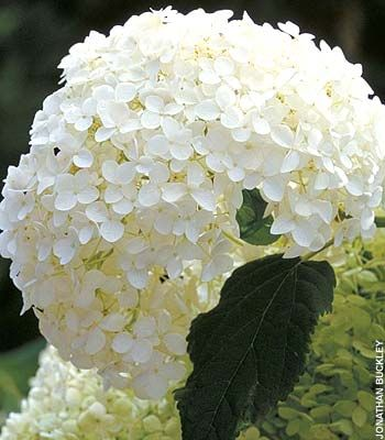 Annabelle Hydrangea. Annabelle is the bell of the gardens. She has beautiful large white blossoms!